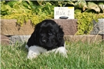 Picture of AKC Newfoundland Male Puppy 2