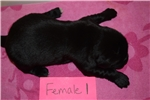 Picture of AKC Newfoundland Puppies