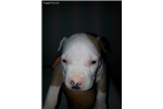 Picture of Male #3 American Staffordshire Terrier pups
