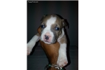 Picture of Male #4 American Staffordshire Terrier pups
