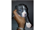 Picture of female #1 American Staffordshire Terrier pups