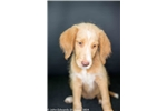 Picture of Tippy, Labradoodle female