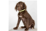 Picture of Palm, Labradoodle female