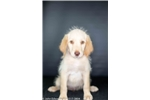 Picture of Coral, Labradoodle female