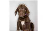 Picture of Mango, Labradoodle female