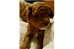 Picture of Chip - Tiny Red Toy Poodle