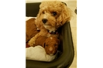 Picture of Moka - Tiny Red Toy Poodle