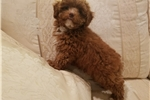 Picture of Simba - Tiny Red Toy Poodle