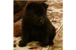 Picture of Little Black Bear-AKC Registered