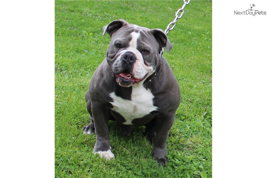 Bulldog Breed Made In England