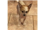 Picture of AKC-Male HHL Chinese Crested