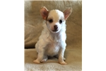 AKC Chinese crested female | Puppy at 5 weeks of age for sale