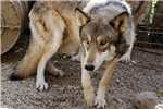 Picture of Wolfdog pup male