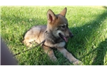 Handsom High Content Wolfdog Pup For Sale | Puppy at 12 weeks of age for sale
