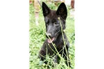 Picture of High Content Black phase Female wolfdog