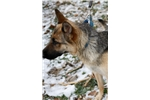 Picture of Terrific wolfdog pup male