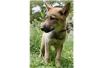Picture of High Content Female wolfdog