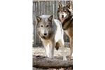 Picture of Handsom High Content Wolfdog Pup For Sale