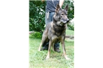 Picture of Wolfdog male
