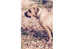 South African Boerboels for sale