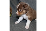 Picture of Australian Shepherd Puppies for Rehoming