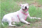 Picture of Staffordshire Bull Terrier - American Bull Terrier