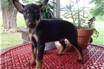 Manchester Terrier, Toy for sale