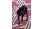 Picture of Manchester terrier Toy Male