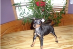 Picture of Manchester Terrier pups looking for forever homes