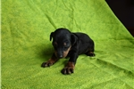 Picture of Manchester Terrier