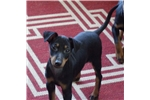 Picture of Manchester Terrier puppy