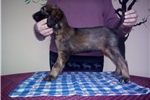 Gold Female  | Puppy at 24 weeks of age for sale