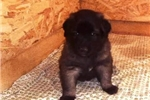 Picture of an Estrela Mountain Dog Puppy