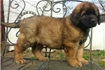 Picture of a Leonberger Puppy