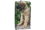 Blue Boy | Puppy at 13 weeks of age for sale