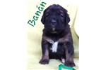 Leonberger for sale