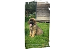 Blue Black Boy | Puppy at 13 weeks of age for sale