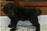 Picture of Gorgeous - Jacinto  F1.Bb Labradoodle
