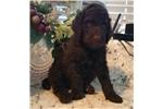 Picture of Prince Gioni - Dark Chocolate - Champion Sired