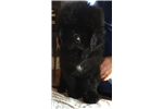 Picture of AKC Newfoundland Male~Black