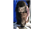 Picture of AKC Newfoundland Female~Black