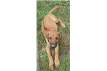 Picture of Female Ridgeback