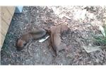 Rhodesian Ridgeback for sale