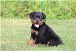 Picture of European CH. Sired Rottweiler Pup...Large, AKC