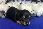 Picture of Charley Black & Tan male