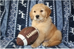 Picture of AKC Golden Retriever Puppies - Upcoming Litter