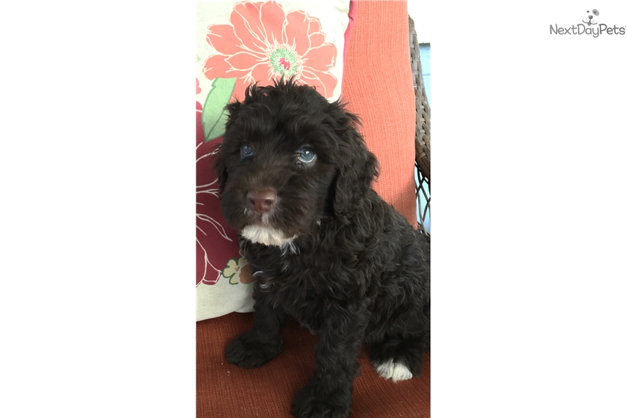 Portuguese Water Dog For Sale Florida Portuguese Water Dog p...
