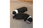 Picture of AKC CHAMPION-SIRED PORTUGUESE WATER DOG PUPPIES!!