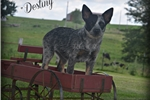 Baby Destiny!!! Absolutely Stunning... | Puppy at 17 weeks of age for sale