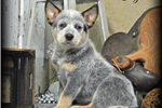 Picture of Baby Ryder~Oh My,He Is AMAZING~AKC CHAMPION SIRED